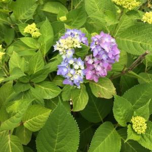 紫陽花が咲き始めました