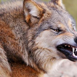 日本の狼たちよ、蘇れ!・・・日本男児はタガメ女を救えるか