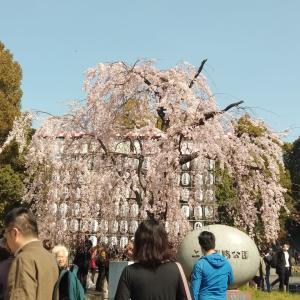 日本は桜が満開です