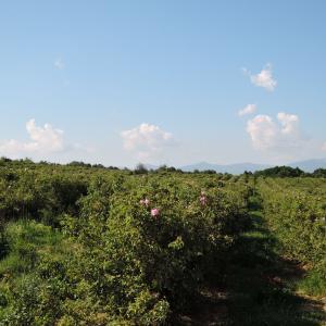 バラの谷へバラ摘みに行きました