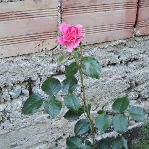 バラの挿し木とオペラ蝶々夫人