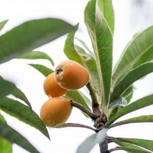 大薬王樹という素晴らしい名前の木が庭にあります。みなさまにもおすそわけ