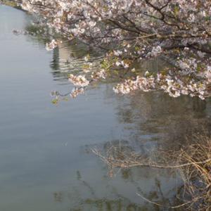 桜満開、バス釣れる