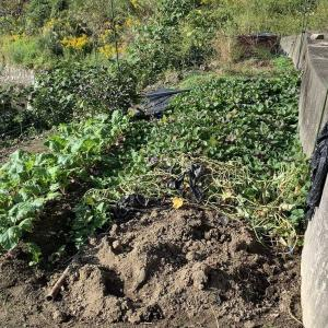 畑で芋掘り。