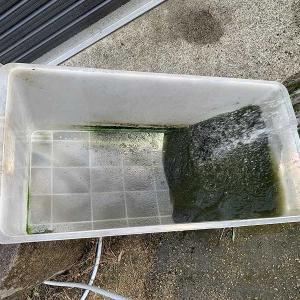 忘れてたフランソワ君の水槽の掃除。
