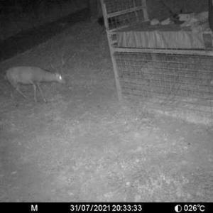 箱わなに鹿が・・・でも逃げられた。