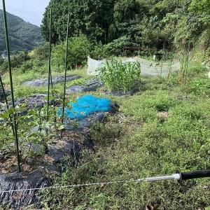 放置状態だった畑の草刈と畑仕事を少し。