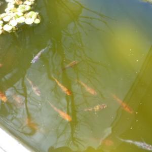 紀州三色メダカも冬眠から目覚め泳いでます