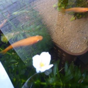 アナカリスの白い花が咲活きました