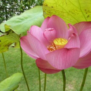 きれいで可愛らしい即非蓮が咲きました!