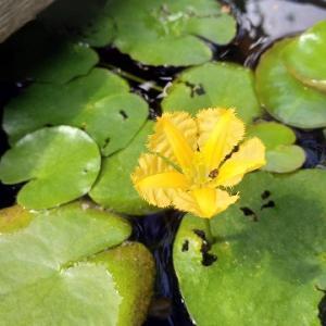 黄色が美しいアサザ、初心者でも簡単に花を咲かせられます