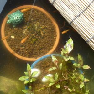 楊貴妃メダカを一つの睡蓮鉢に集めました