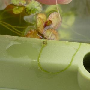 メダカの卵が藻についてる