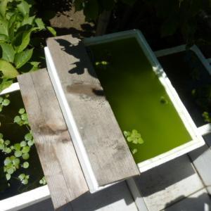 大きく育てるため紀州三色メダカ稚魚の発泡スチロール水槽を拡大
