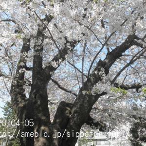 桜満開だ…わん