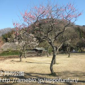 2月の公園…梅が咲いたよ