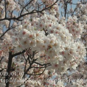 桜が咲いたね…わん