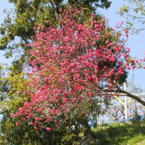 満開の桜なのに