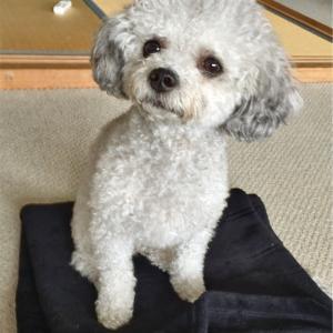 海外から連れてきた飼い犬を、日本でマイクロチップ登録する