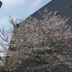 今年と去年の桜