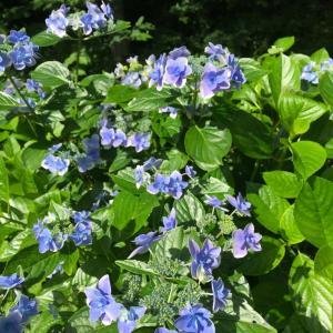 紫陽花 やっと