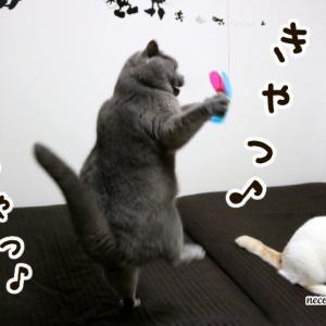 まだ続く猫じゃらし熱★宙に舞うブリコロ♪