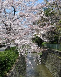 叡山本線を往く叡電デオ723貸切列車と京都の桜
