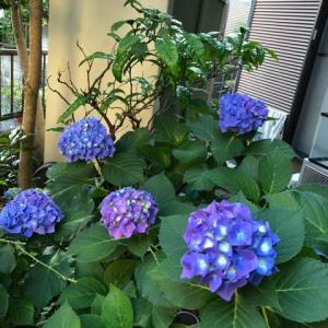 紫陽花、目にうれし