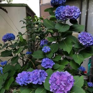 紫陽花と言葉遊び