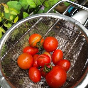 トマトの収穫^_^