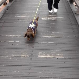 【駒ヶ根高原】紅葉を見ながら、散歩するミニチュアダックス〜長野県駒ヶ根市