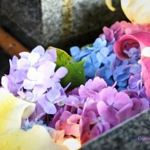 花手水めぐり♪紫陽花が美しい新琴似神社