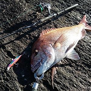 ショア真鯛65cm 3.6kg捕獲!(^ω^)