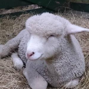 ニュージーランドの羊🐑