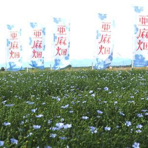 【花・景色】午前中に散ってしまう儚い青い花畑「当別町亜麻畑」
