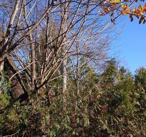 電動ノコギリ(レシプロソー)で枝の伐採