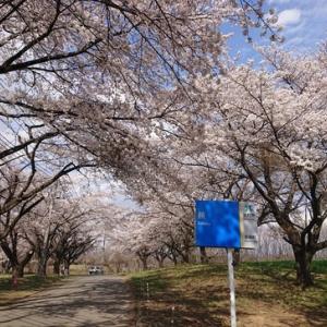 花見2020③ 蕪(かぶら)の桜並木