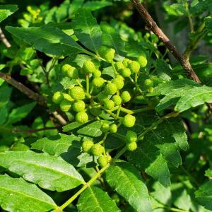 山椒の収穫始まるヨ!