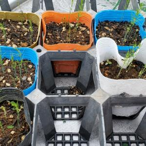 アスパラガス秘密の花園計画④苗の植え替え