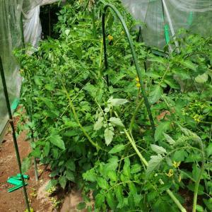 トマト畑早くもジャングル化する