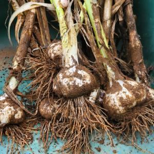 梅雨の合間にニンニクの収穫