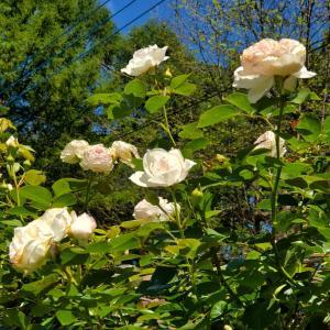 アスパラガス秘密の花園計画⑤兄弟たちに幸あれ