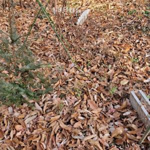 ボチボチと落ち葉掃除を楽しむ