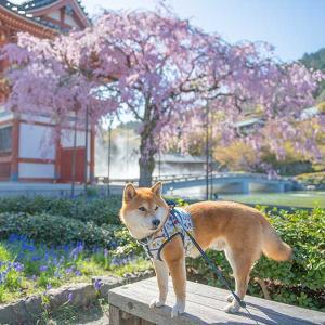 亜門さんと行く大阪の桜の名所 勝尾寺