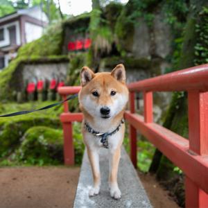 柴犬亜門さん 北陸の旅
