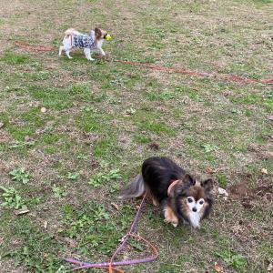 小型犬は散歩がいらない