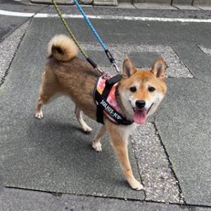 柴犬 りくちゃん