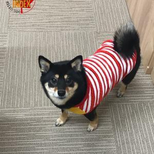 柴犬 ぽんぽんちゃん