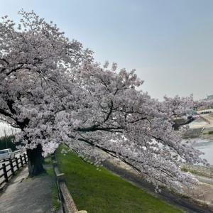 芥川の桜と公園遊び