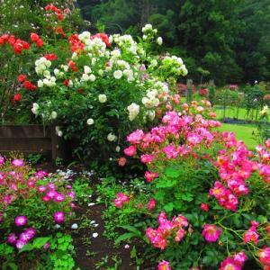 ちょっとお散歩バラの咲く公園 と マスク来ました